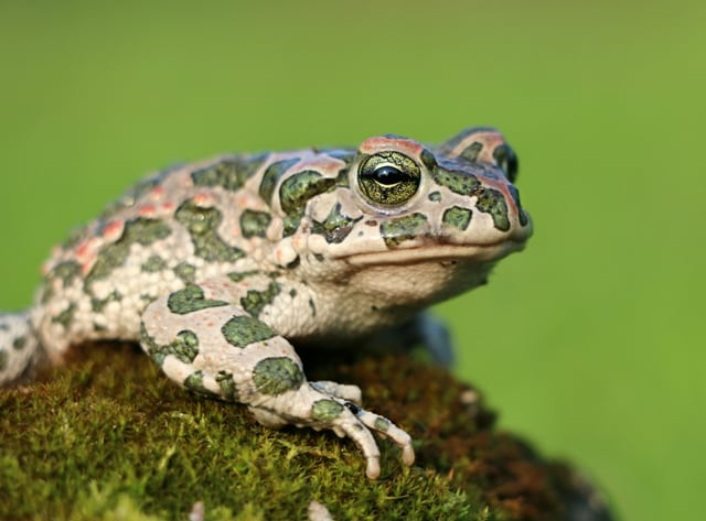 Bufo viridis - Rospo smeraldino