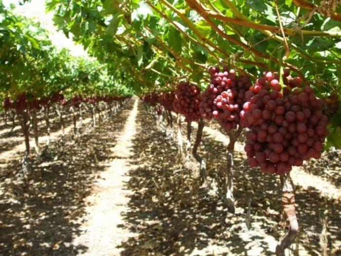 Puglia la campagna dell uva da tavola messa a rischio - Uva da tavola puglia ...